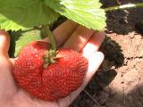 Seedlings and seeds strawberry everbearing