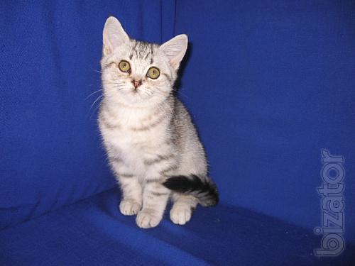 Scottish silver kitten (boy)