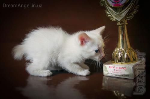 Mekong Bobtail - affectionate kittens