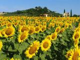 "Sunflower ""Pioneer"" PRA (PR63A86)"