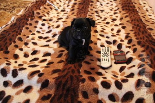 Sell French Bulldog puppy boy