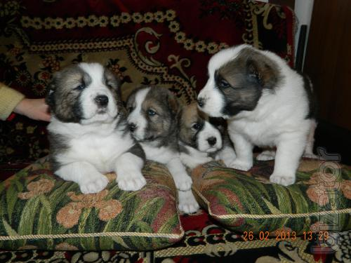 major Central Asian shepherd puppies ( Alabai )