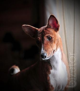 Puppies alausa dogs Basenji, RKF