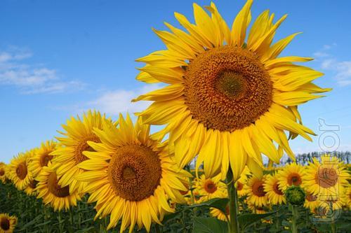 Sunflower seeds maisadour