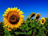 Sunflower seeds Euralis EU Floridas