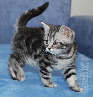 Kiev nursery offers kittens color Whiskas