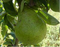 Seedlings of pear November.