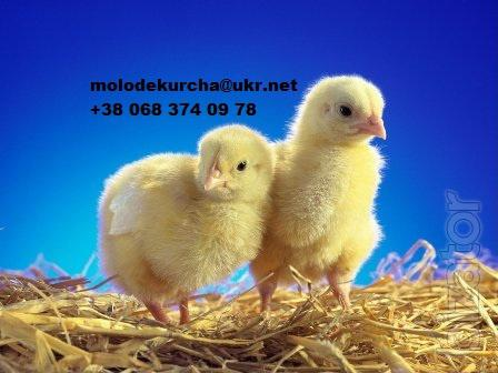 Sell daily and grown broiler chickens Cobb-500!