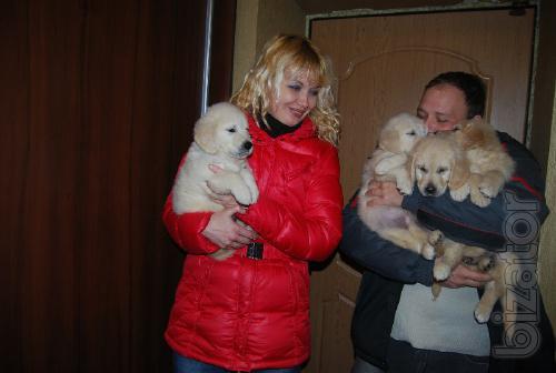 Golden Retriever gorgeous puppies