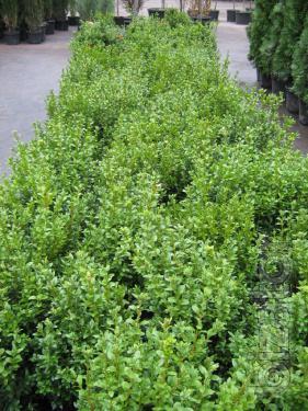 Boxwood evergreen Bush 60/35 cm Kiev to buy. A hedge of TUI, junipers.