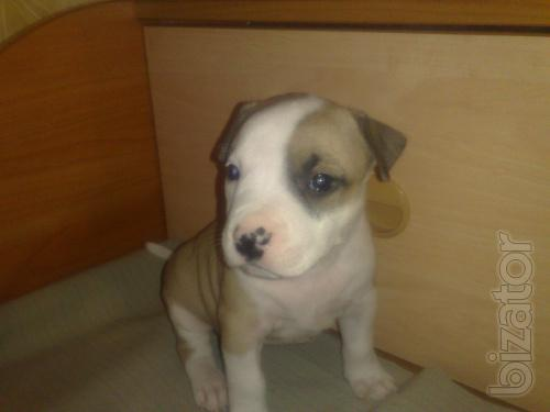 Sell puppies American Staffordshire Terje