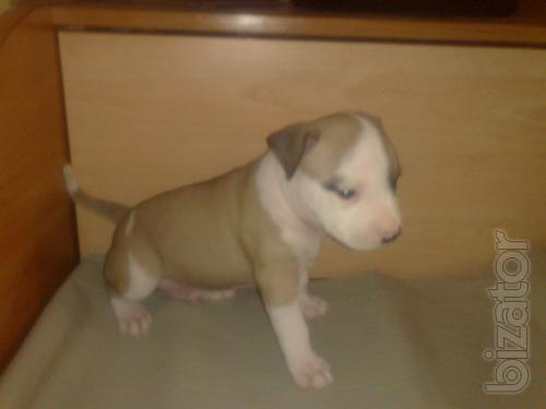 Puppies American Staffordshire Terrier Donetsk.