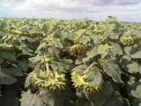 Sunflower seeds Jalan F1 GM/p. E.