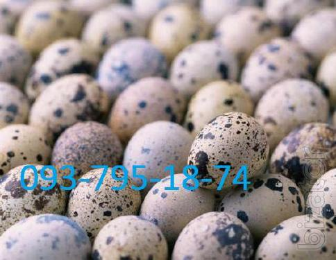 Quail egg and meat breeds.