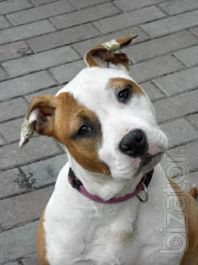 Chic girl amstaff Terrier