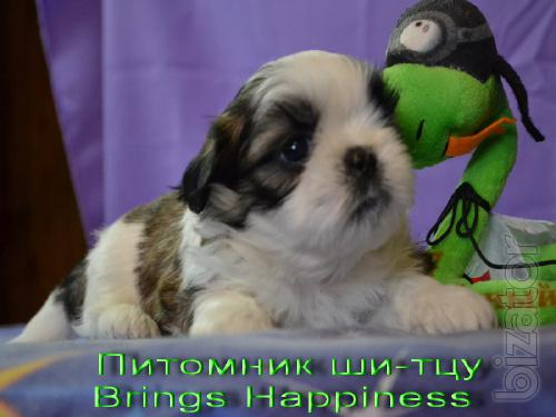 puppies Shih Tzu from a couple of inter Champions