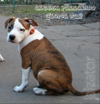 Puppies American Staffordshire Terrier.