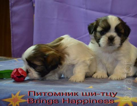 Cute puppies Shih Tzu
