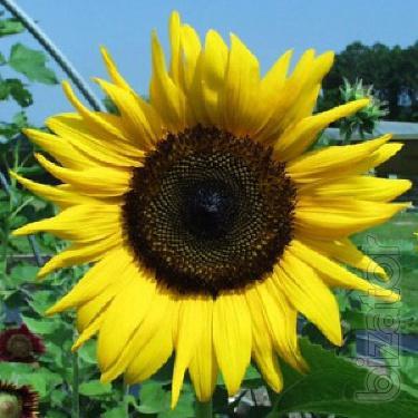 Buy wheat,sunflower