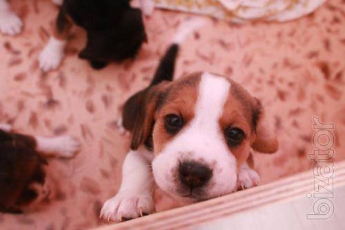 The Beagle puppies from titled parents