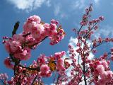 Japanese miracle in Your garden!