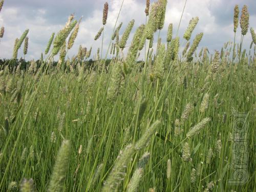 Seeds of forage grasses (Timothy, clover, grashtitsa) and plant protection products (Herbicides, Fungicides) in the range of wholesale.