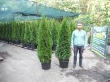 Juniper rocky Skyrocket 230-250 see the hedges. Landscaping Kiev