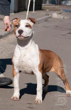 Chic female American Staffordshire Terrier
