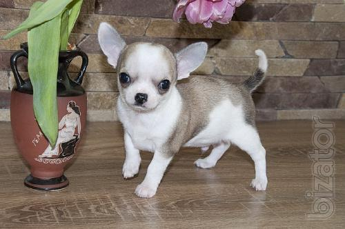 Boys Chihuahua smooth-haired