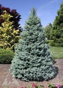 Spruce, blue spruce, spruce fat albert, spruce Kiev to buy