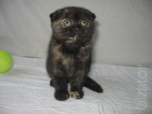 Scottish silver kitten (boy) and fold black cat