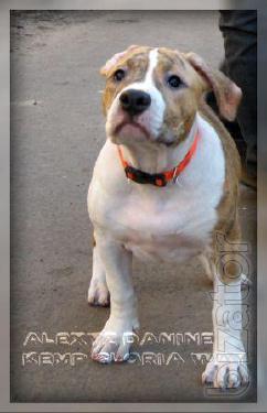 Amstaff Puppies. Terrier ((FCI UKU).