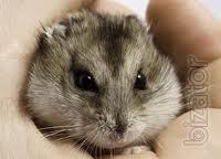Djungarian hamsters