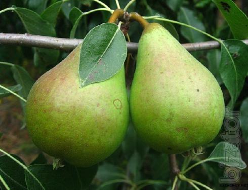 Seedlings of pear, Apple