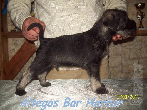 The puppies Schnauzer (standard) from titled parents with mentally stable
