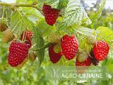Seedlings of raspberry Polana Polana (glade, Shelf)