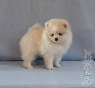Pomeranians white bear