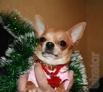 Male Chihuahua , binding
