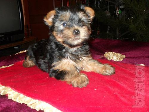 Puppy Yorkshire Terrier , two female Yorkshire Terrier