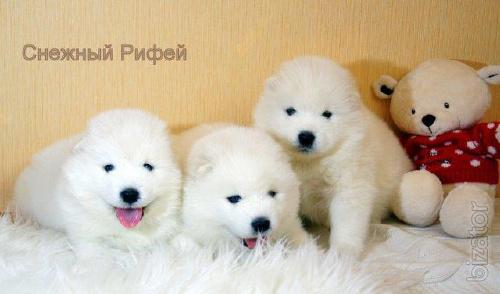 White Samoyed puppies from parents Champions