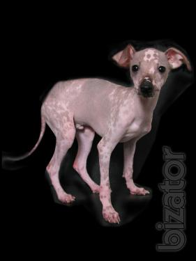 """Sell puppies Mexican naked mini """"Xolo"""""""