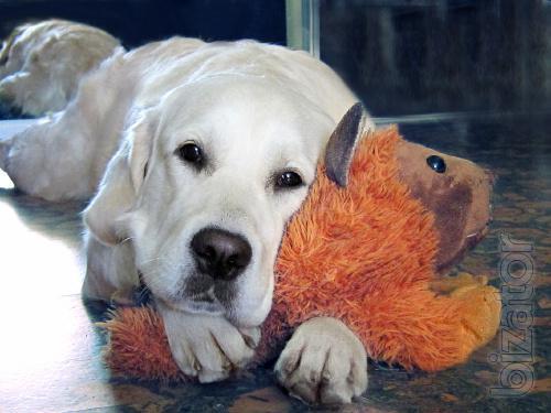 Puppies Golden Retriever.
