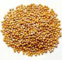 Seeds mustard yellow variety Tavrichanka