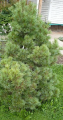 The Weymouth pine seedlings. Weymouth Pine. An affordable price.