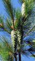 The pine seedlings rumelili. Low priced. Pine rumelica.