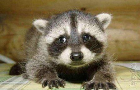 Raccoons Babies For Sale Sale Manual Raccoons