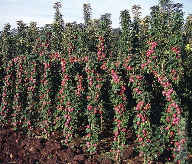 Appletree Apartments: Seedlings Columnar Apple Trees, Cherries, Grouchy, Apricot