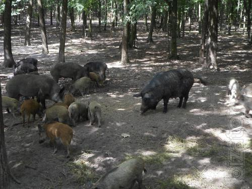 Sell Wild Boars live-weight and meat