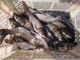 малек, зарыбок, крочка, двухлетка, товарная рыба карп, амур, толстолоб, щука