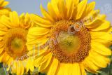 Ukrainian sun (90-95 days) Hybrid sunflower